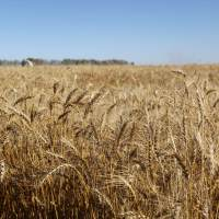 Report Breaks Down Cereal Crop Acres Across Western Canada