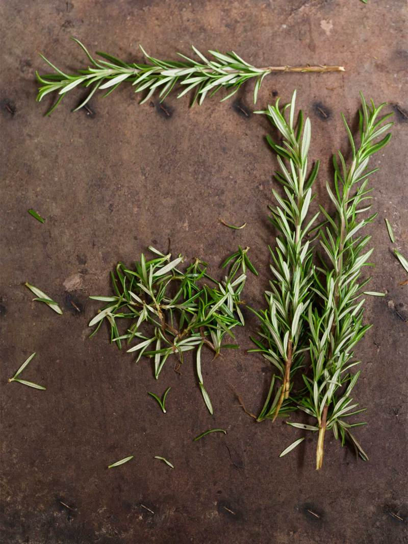 Large Of How To Harvest Rosemary