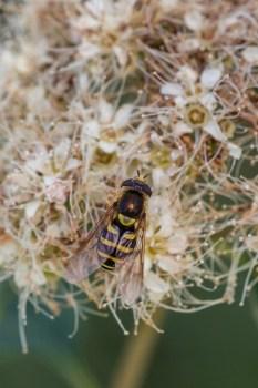syrphid fly on Spiraea betulifolia sRGB