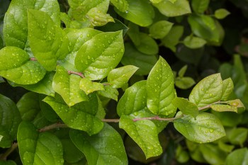 Gaultheria shallon (salal)
