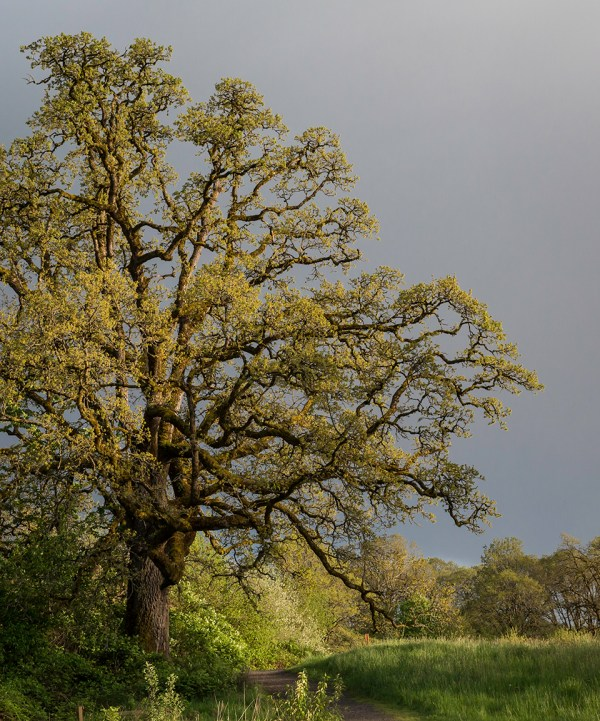 Garry oak (Oregon white oak)