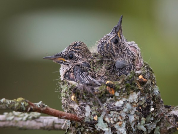 Anna's hummingbird babies, around Day 13