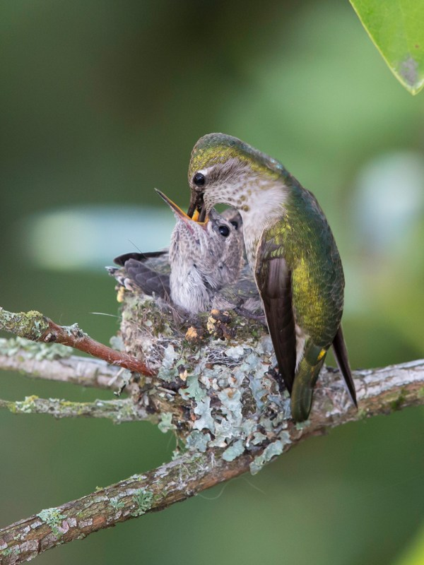 Anna's hummingbird feeding her babies, around Day 18