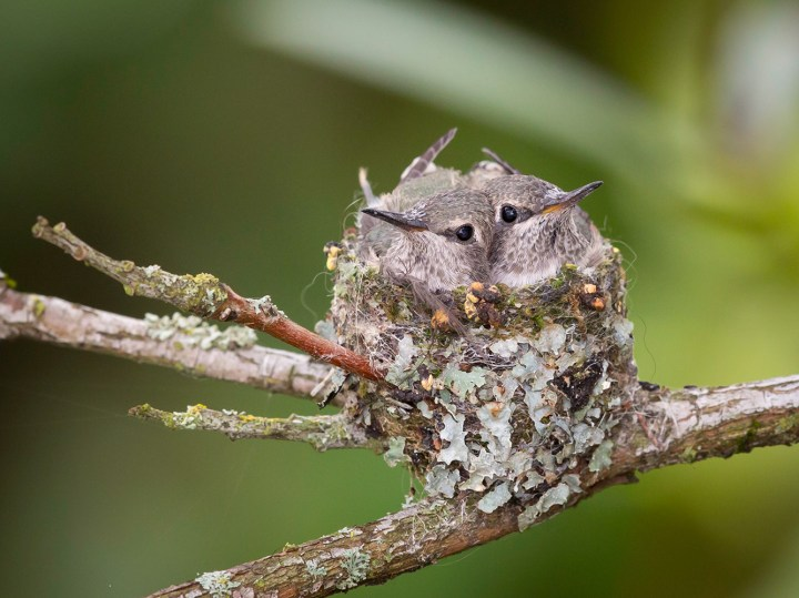 Anna's hummingbird babies, around Day 19