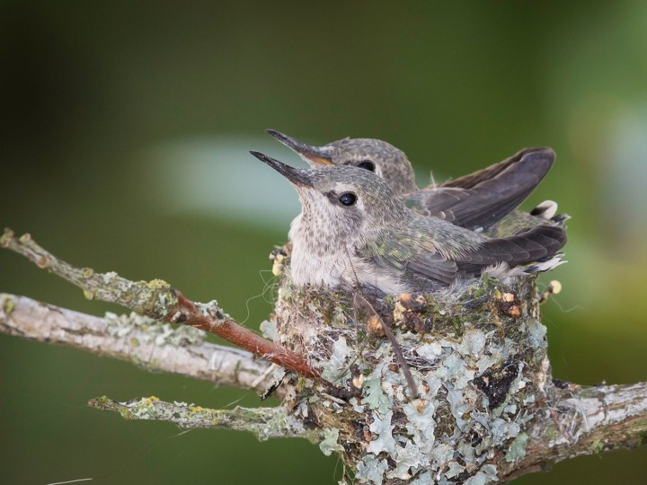 Anna's hummingbird babies, around Day 20