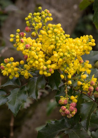 Best early spring flowering shrubs for pacific northwest pollinators mahonia aquifolium mightylinksfo