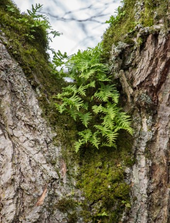 Licorice fern on American elm