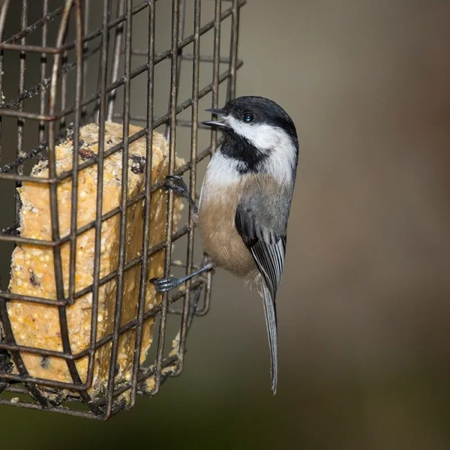 Black-capped chickadees love peanut butter-coconut oil suet!