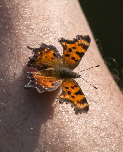 Butterflies and moths often obtain nutrients and moisture in mud puddles, but they're also attracted to perspiration on skin, like this green comma butterfly.