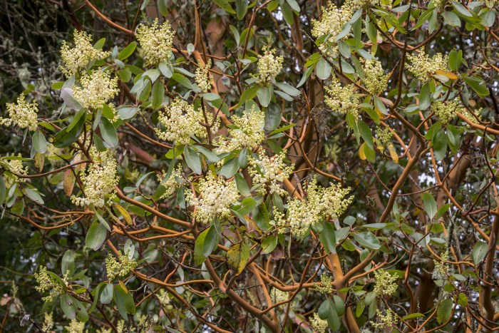 Arbutus menziesii in flower
