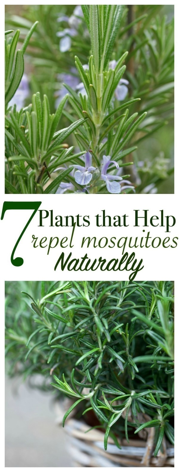 7 plants that help repel mosquitoes naturally for What plants naturally repel mosquitoes