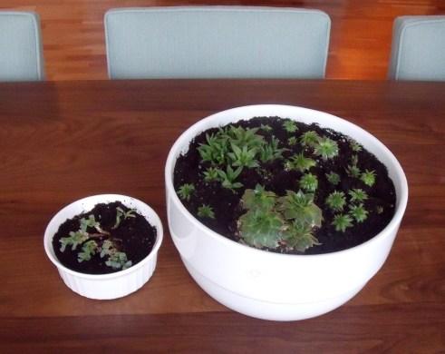 succulentsafter