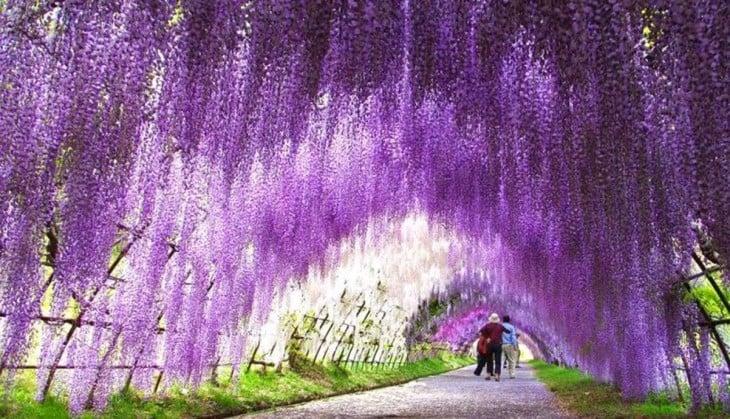 Pole kwiatów, Wisteria Japonię