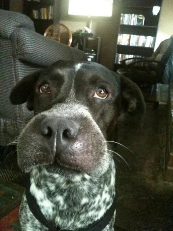 Twarz pies z obrzękiem nosa