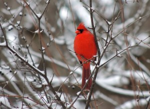 cardinal in tree live photo