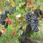 This year's pinot almost ready for harvest