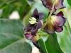 koyle flower