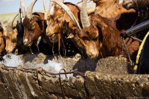 Ziegen in der Mongolei Reisen Reisetipps Reisebericht