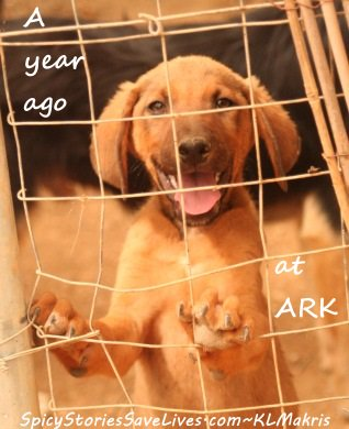 Happy adoption anniversary to Greek pup rescued by tourists from car traffic