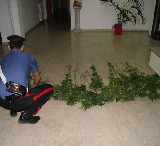 Scoperta in Irpinia un'altra piantagione di marijuana.