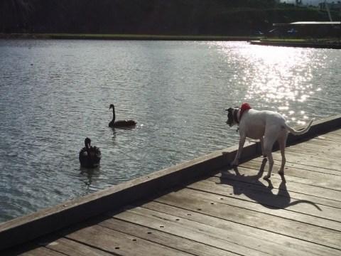 Oscar and The Swans