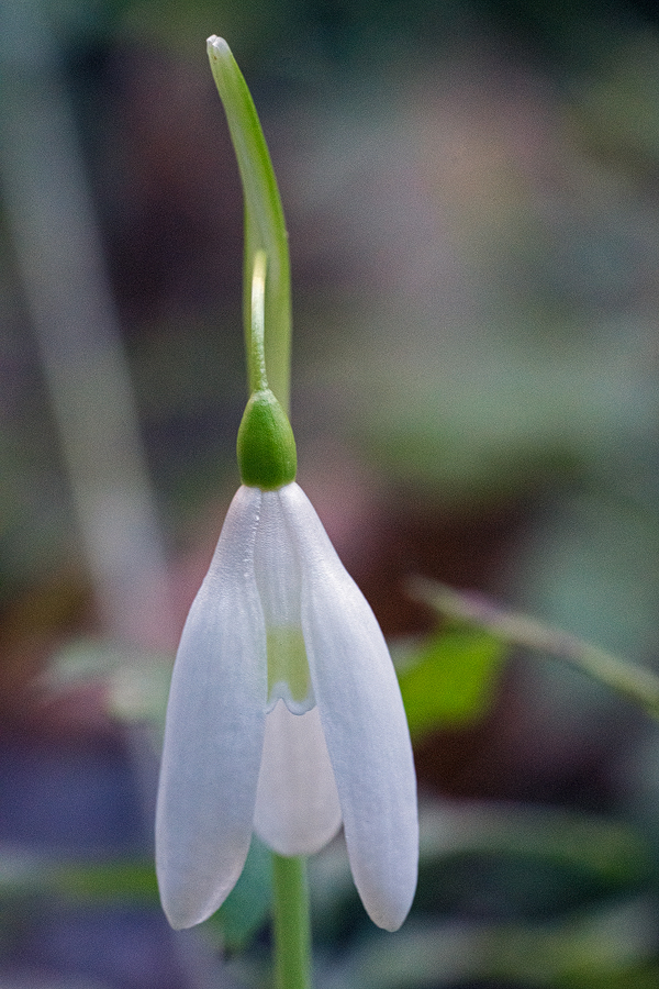 A flower with unusually (for Taygetos Galanthus reginae-olgae) pale mark on inner segments. 05/11/15.