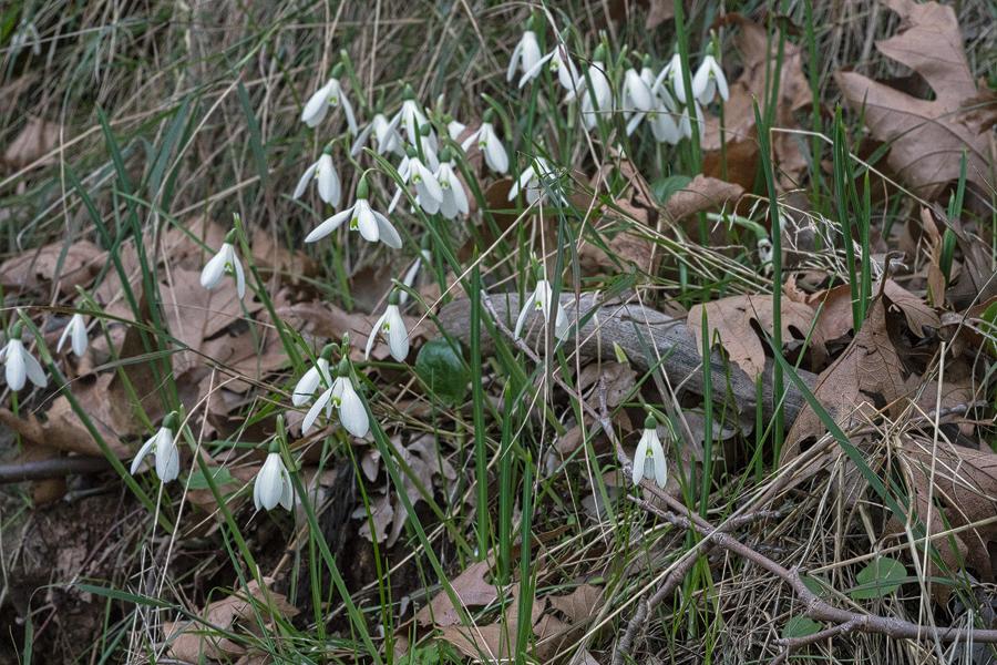 Galanthus reginae-olgae - Part II