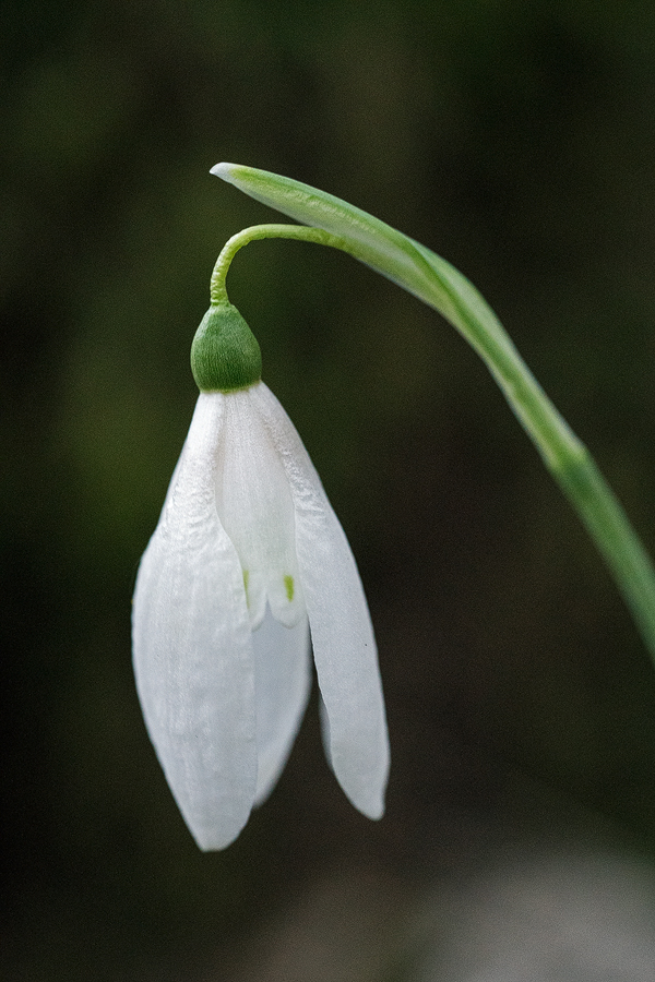 Variation in inner segment markings of Galanthus reginae-olgae. Taygetos, 04/11/15.
