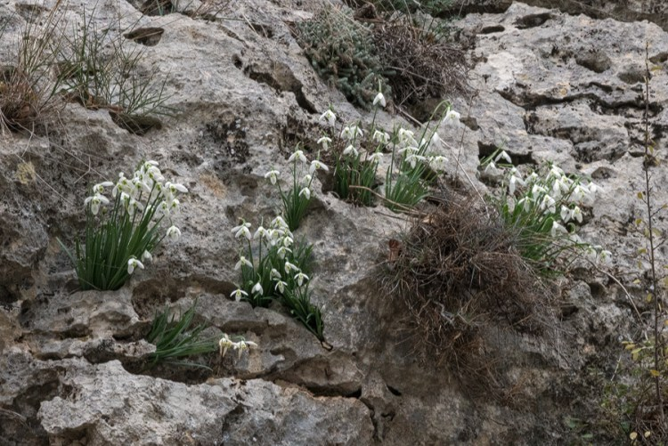 Clumps of Galanthus cilicicus growing in pockets of soil on an exposed, west-facing limestone cliff. Near Mersin, 19/12/15.