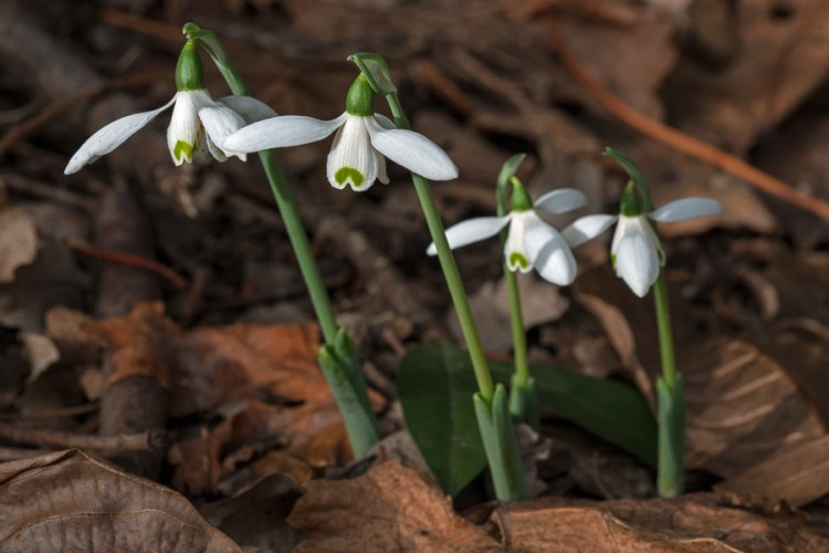 Galanthus elwesii var. monostictus. An unusually short clone. The scapes on this clump were 10cm tall. Near Antalya, 16/12/15.