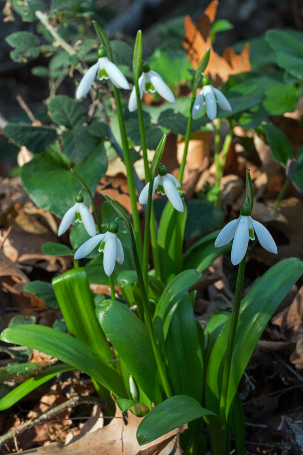 Galanthus ikariae subsp. snogerupii, Arnas, Andros, 29/12/15. Note shiny, bright, lime-green leaves.