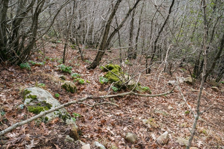 Open oak woodland habitat of Galanthus fosteri, east of Iskenderun, 2/2/16.