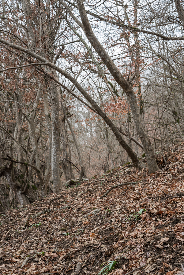 Galanthus transcaucasicus habitat. Mixed broadleaf forest, c. 500m. Lenkaran - Lerik, Azerbaijan, 17/2/16.