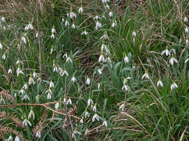 Galanthus x valentenei nothosubsp. sublicatus, Thrace, 2/3/16. Many clones formed small clumps.