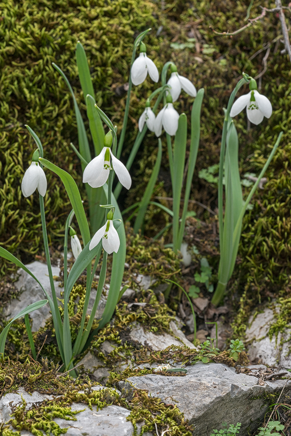 Galanthus gracilis, near Izmir, Turkey, 9/3/16. Unmistakable, twisted, linear, glaucous leaves.