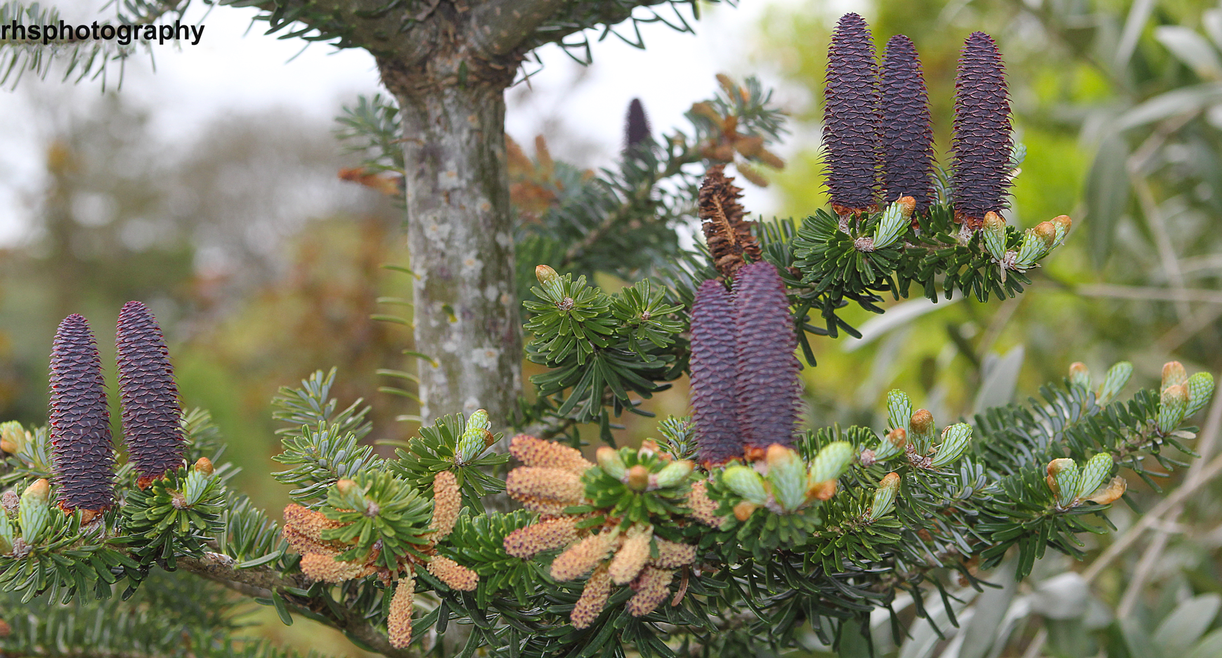 Purple-Tree-Cones