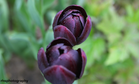 Purple-Tulips