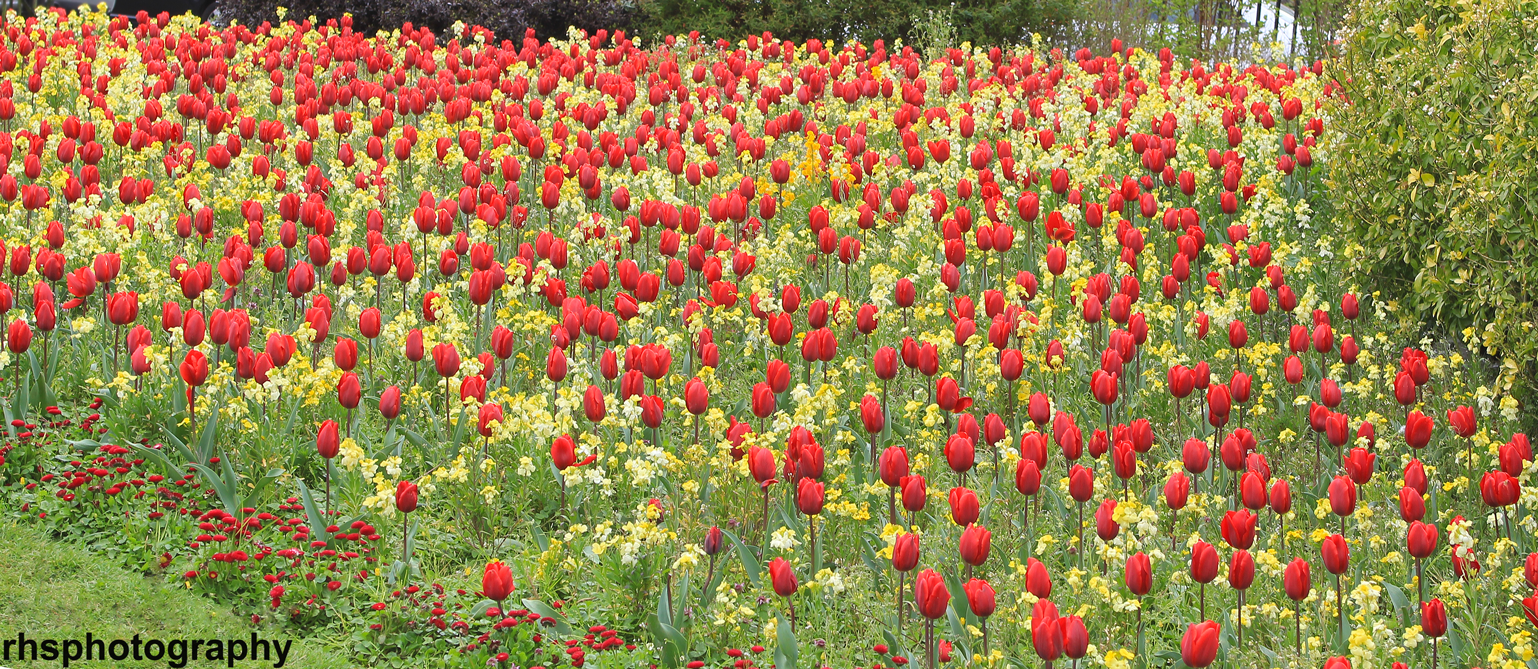 Red-_-Yellow-Tulips
