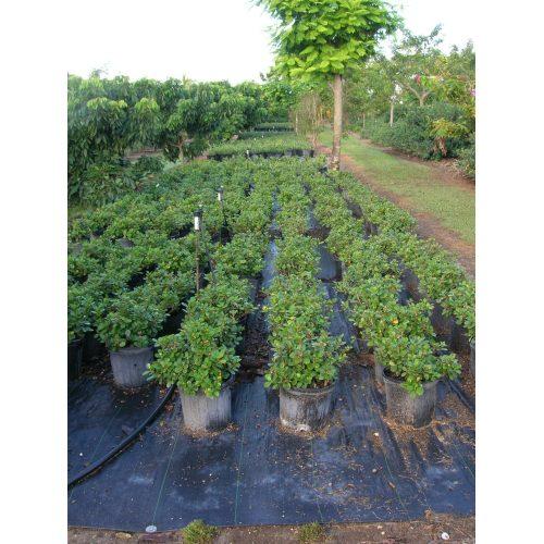 Medium Crop Of Green Island Ficus