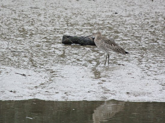 Curlew at Melton Riverside