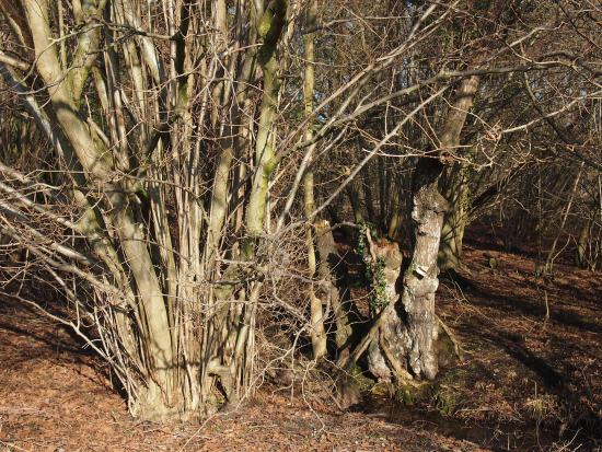 hazel coppice at Lackford Lakes