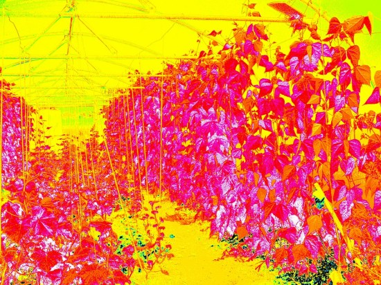 NDVI image of something in the polytunnels