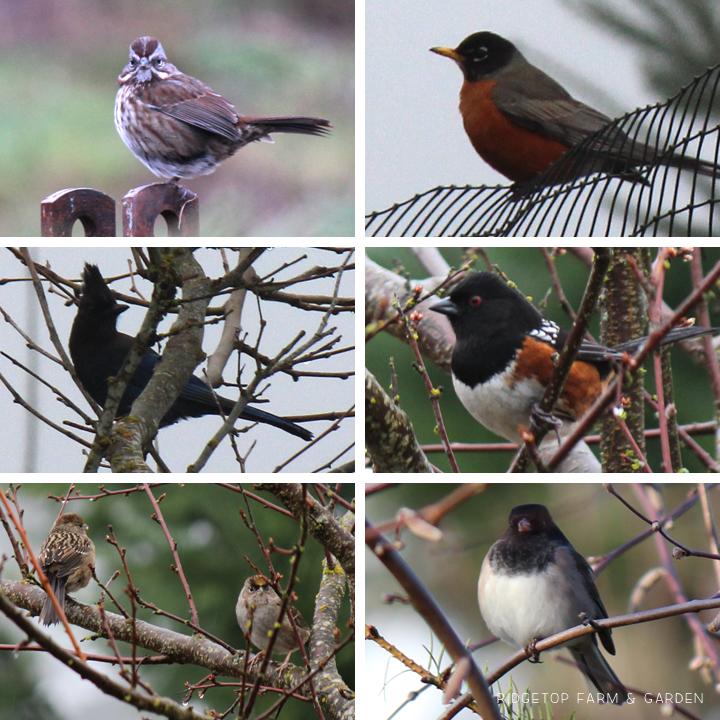 ridgetop farm and garden great backyard bird count 2016