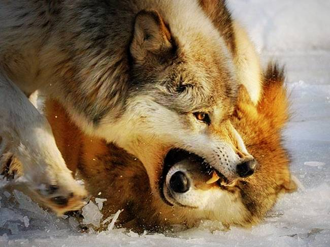 The two wolves inside us
