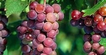 دراسة طبية حديثة عن العنب