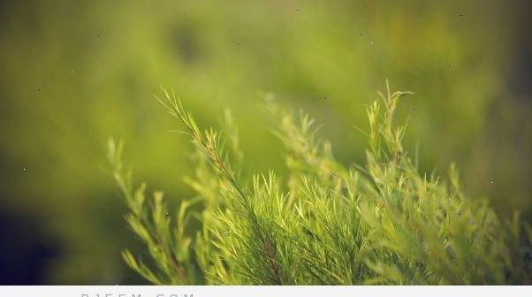 فوائد زيت شجرة الشاي