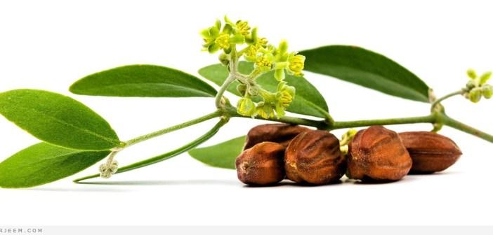 زيت الجوجوبا - فوائد زيت الجوجوبا للبشرة والشعر