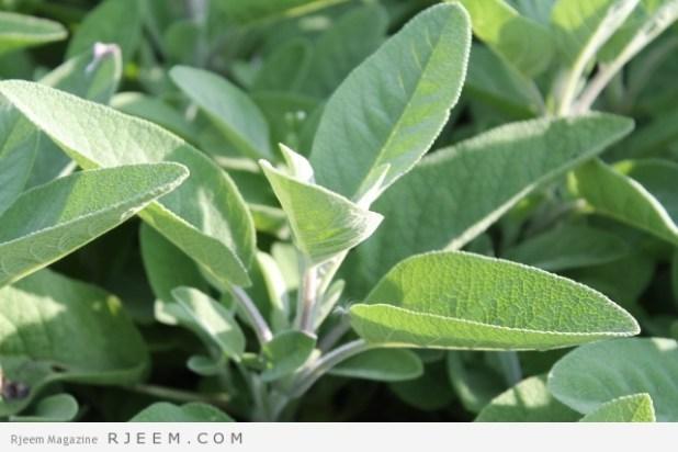 اكثر من 10 فوائد صحية وجمالية لزيت الميرمية
