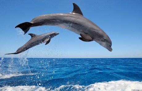 Common Bottlenose Dolphins jumping in sea, Roatán, Bay Islands, Honduras