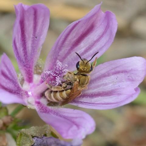 Halictus (Seladonia) subaurata female